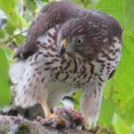 Profile picture of cooper hawk